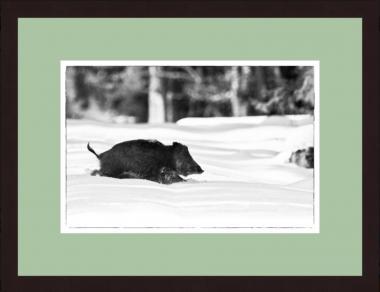 """""""Flüchtige Sau im Schnee"""" Wild-Fotografie"""